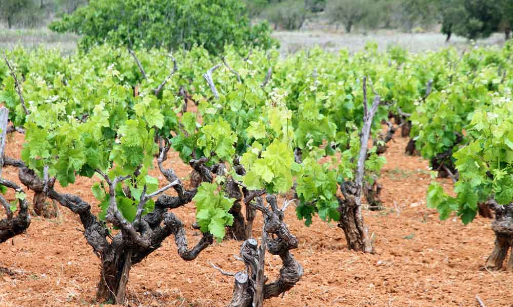 things to see and do in San Antonio, Ibiza - wine tourism
