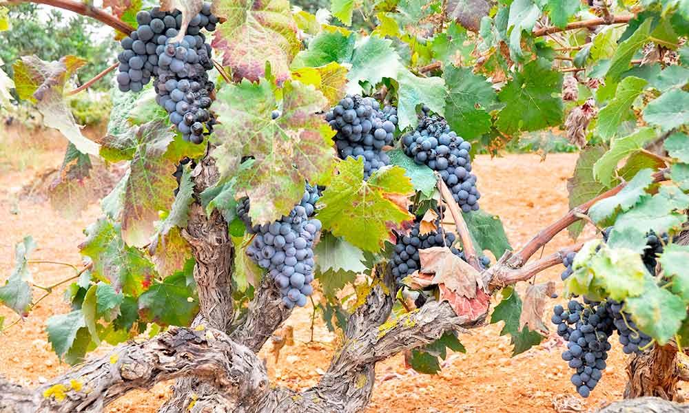 Wine tourism Ibiza